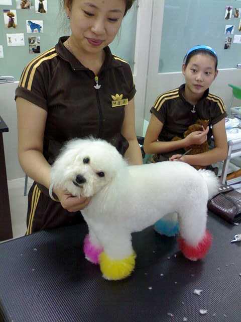 犬照片/贵宾照片/贵妇照片/泰迪照片 贵宾犬美容造型 贵宾犬的美容造